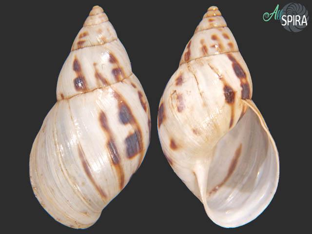 Drymaeus papyraceus