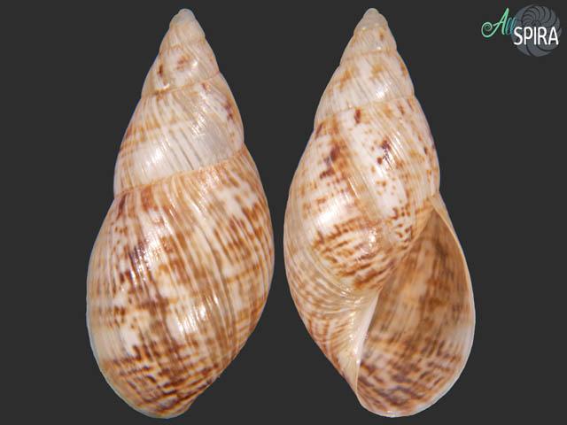 Plectostylus coquimbensis