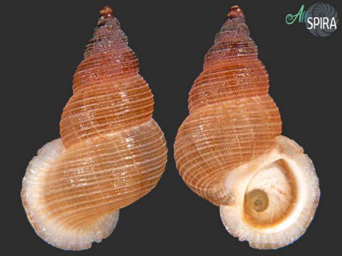 Chondrothyra affinis