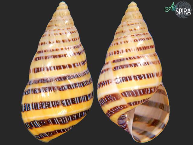 Drymaeus mexicanus primularis