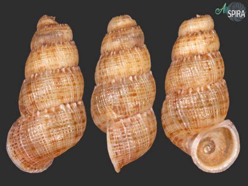 Chondropoma delatreanum
