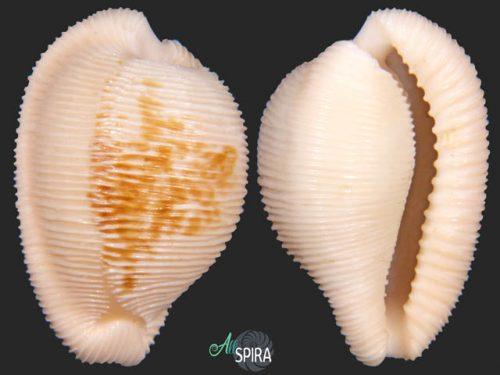 Cypraeovula capensis cineracea