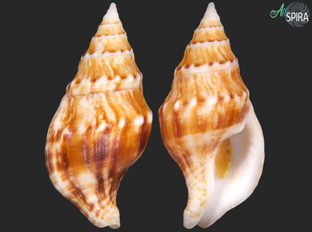 Euthria ponsonbyi