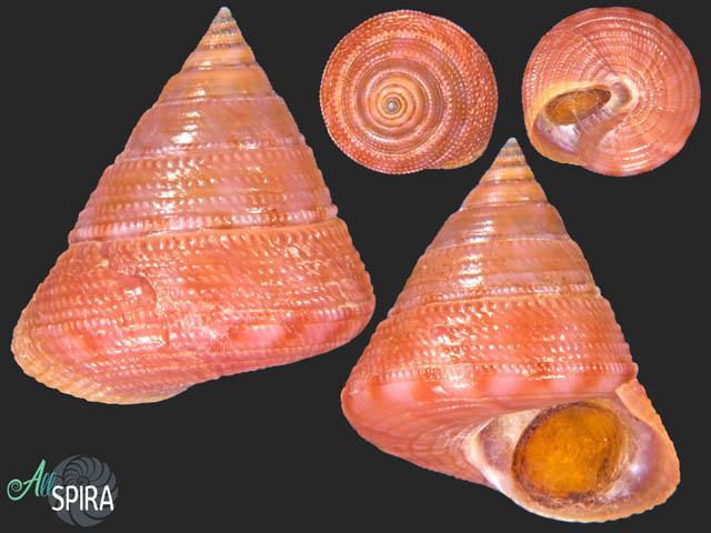 Calliostoma lithocolletum