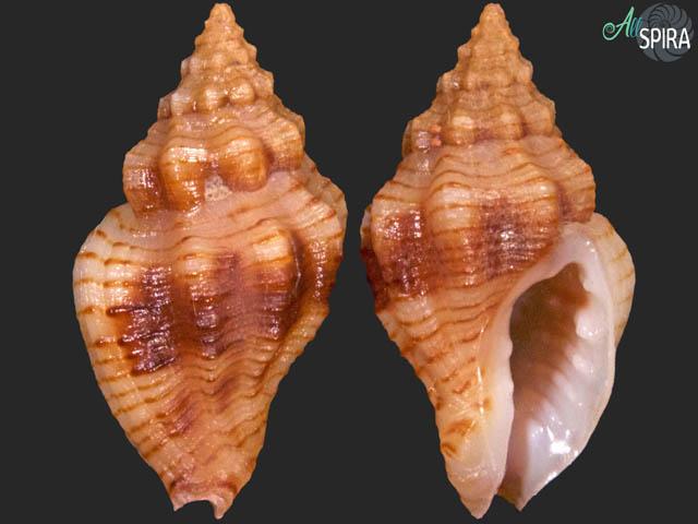 Cytharomorula grayi