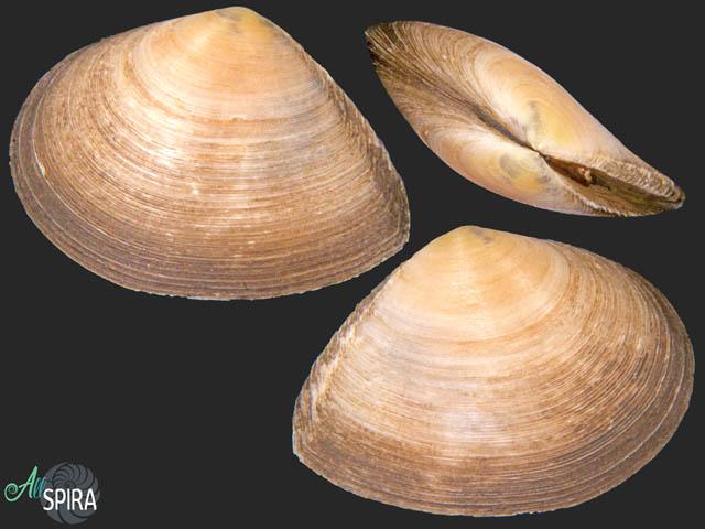 Serratina serrata - BIG SIZE