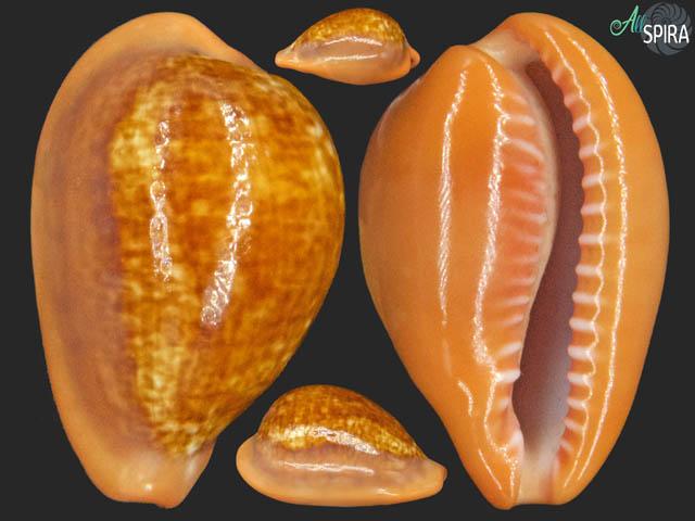 Zonaria pyrum pyrum