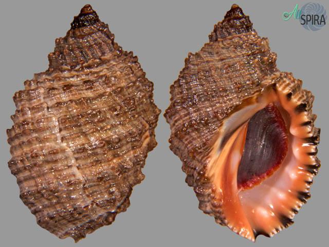 Plicopurpura columellaris
