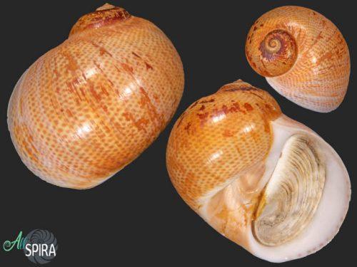 Naticarius stercusmuscarum