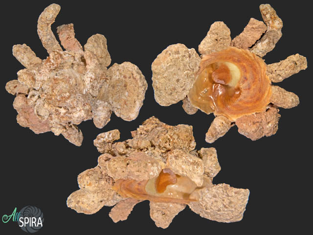 Xenophora conchyliophora - SUPERB