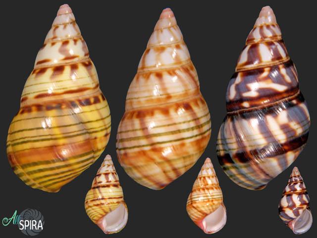 Liguus fasciatus sanctamariae - SET 3 PCS