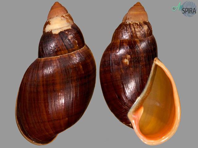 Placostylus albersi