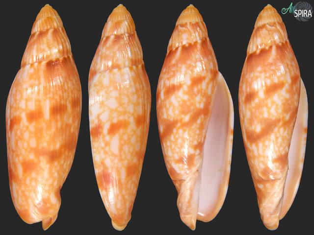 Volutoconus mcmichaeli