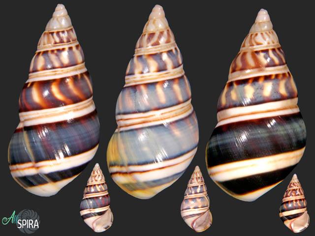 Liguus fasciatus goodrichi - SET 3 PCS