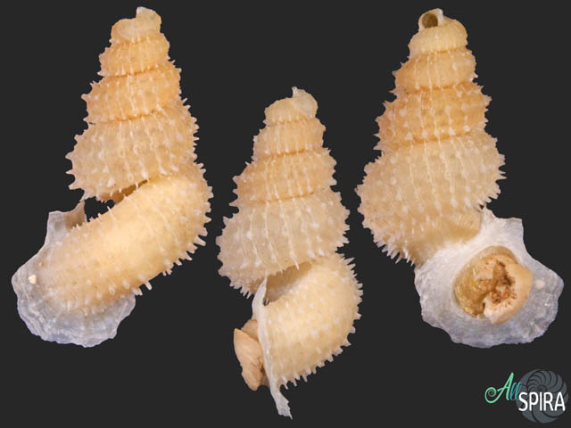 Xenopoma spinosissimum