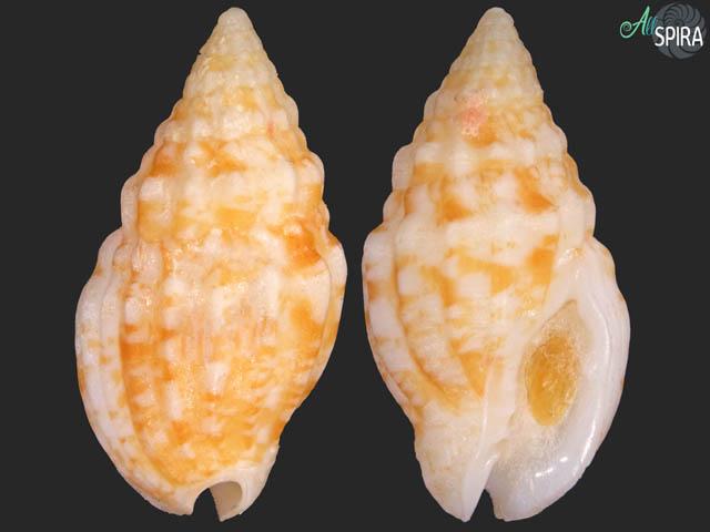 Enaeta cylleniformis