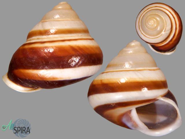 Megalacron ambrosia