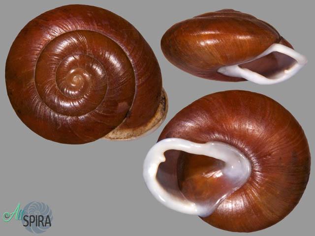 Isomeria meobambensis