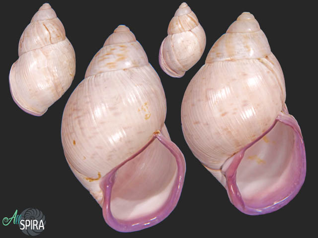 Porphyrobaphe iostoma iostoma - SET 2 PCS